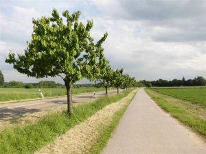 Kirschäume Friedrichstal